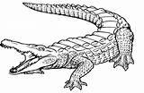Crocodile Coloring Drawings 35kb 1042px 1585 sketch template