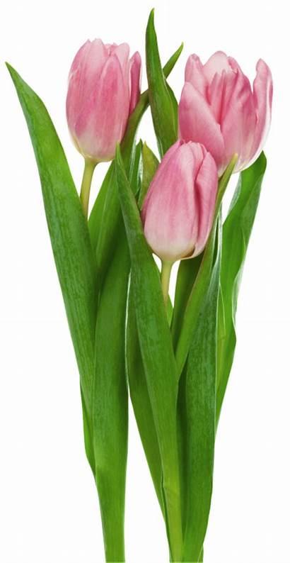Transparent Tulips Flowers Clipart Flores Tulipanes Rosas