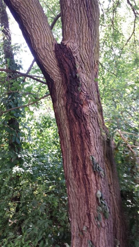 mulberry tree problems alive tree care newsletter october 2013