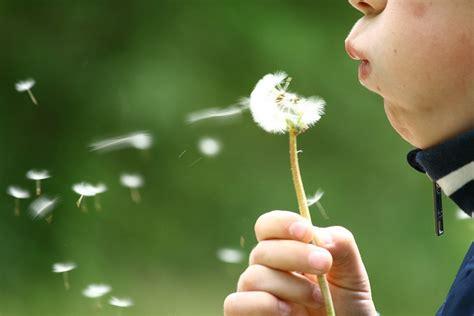 photo dandelion blowing childhood kid