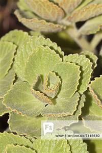 Verpiss Dich Pflanze : verpiss dich pflanze hundeschreck katzenschreck tierschreck coleus canina hybr ~ Orissabook.com Haus und Dekorationen