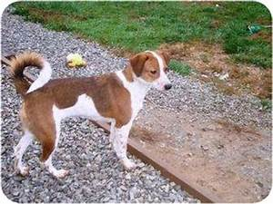 Puppy 2 | Adopted Dog | Irvington, KY | Jack Russell ...