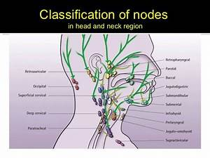 The Superficial Cervical Lymph Nodes Lie Above The