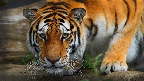 tiger wallpaper full hd  images