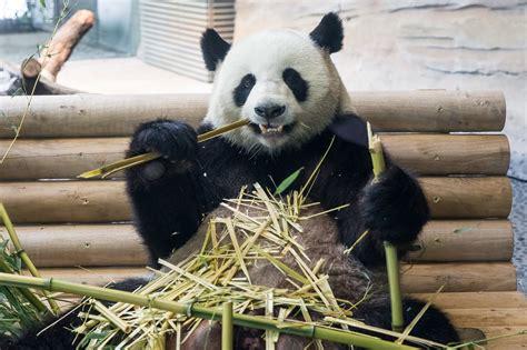 Zoologischer Garten Berlin Panda by Er 246 Ffnung Des Panda Garden Im Zoo Berlin Zoo Berlin