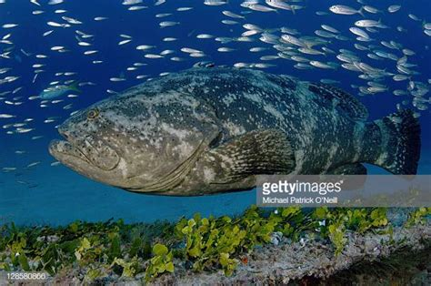 grouper florida species protected goliath