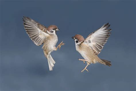 sparrow flying stock  pictures royalty  images istock