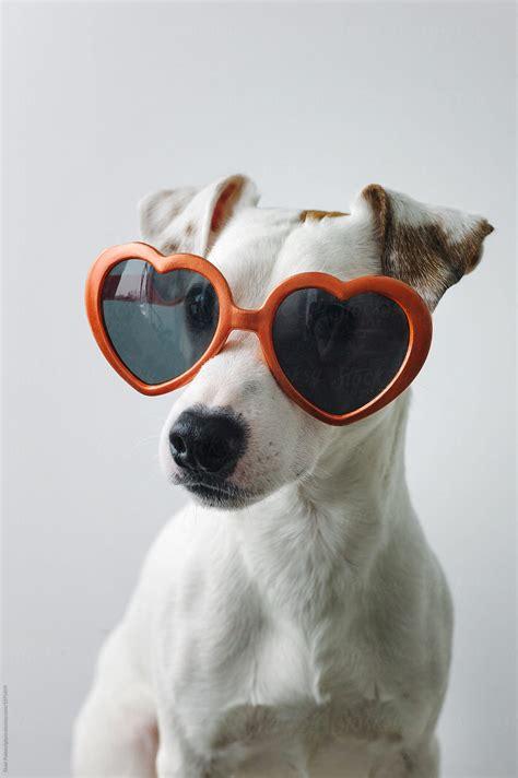 small dog wearing sunglasses  duet postscriptum love