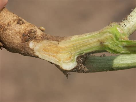 Late Season Fusarium Wilt Of Watermelon Purdue