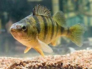 New method distinguishes yellow perch females from males  Perch
