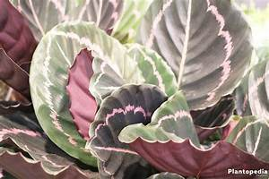 Calathea Blätter Rollen Sich Ein : korbmarante calathea arten und pflege anleitung plantopedia ~ Orissabook.com Haus und Dekorationen