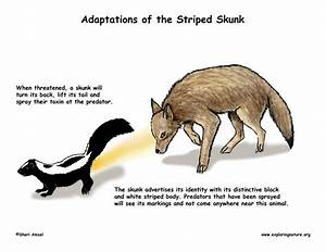 Adaptations of the Striped Skunk