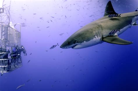 great white shark dive great white shark scuba diving to with 12 footer