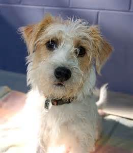 Wire Haired Jack Russell Terrier Mix