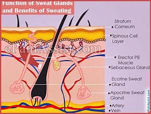 Function Of Sweat Glands And Benefits Of Sweating