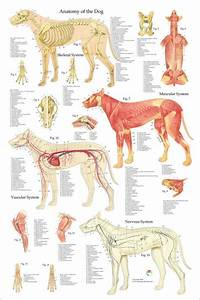 Hond Anatomie Poster 24 X 36