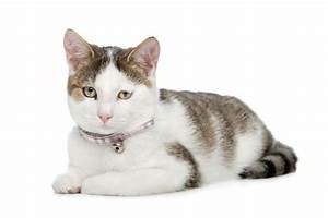 Domestic Shorthair Cat Information and Photos | ThriftyFun  Domestic