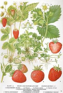 292 best images about vintage strawberry illustration on ...