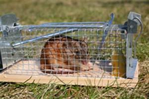 Piege à Rat Efficace : pi ge rat types et prix ooreka ~ Dailycaller-alerts.com Idées de Décoration