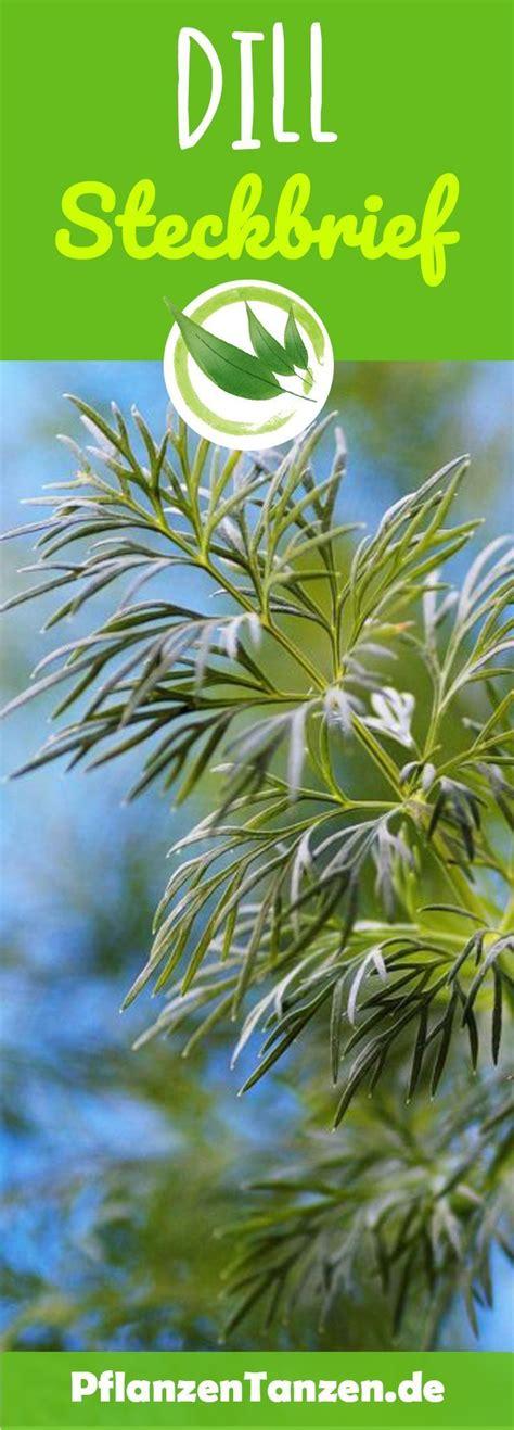 dill steckbrief kraeuter plants garden und balcony garden