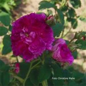 Alte Rosensorten Stark Duftend : rosensorten duftrosen ag ak agar agatha incarnata ~ Michelbontemps.com Haus und Dekorationen