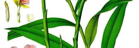 coltivare zenzero vaso come coltivare lo zenzero in casa alfadinamica