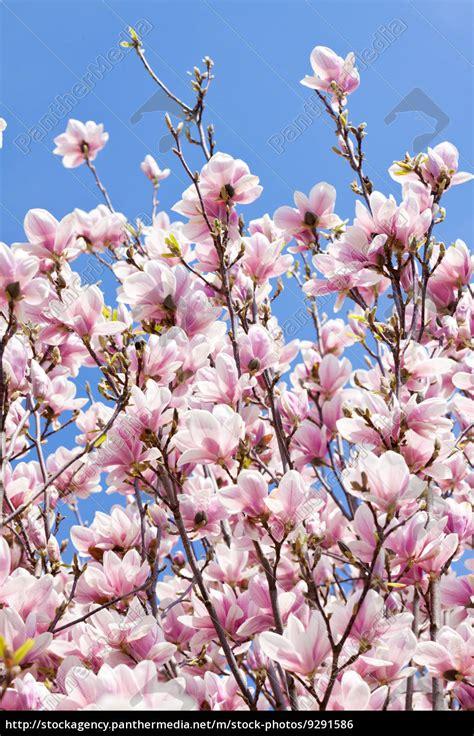 magnolien baum mit rosa bl 252 ten im fr 252 hling mit stock photo 9291586 bildagentur panthermedia - Baum Mit Rosa Blüten