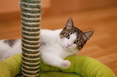 Darum Sind Kratzbäume So Wichtig Für Katzen • Katzenkram