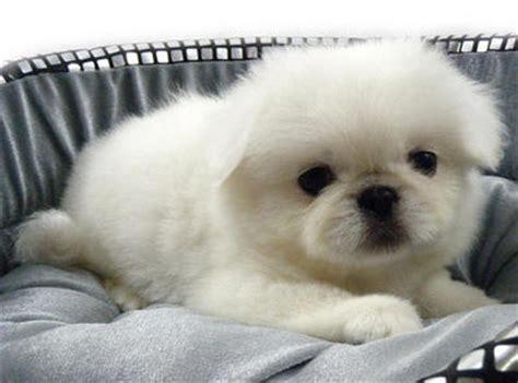 pekingese puppies sold  years  month white pekingese