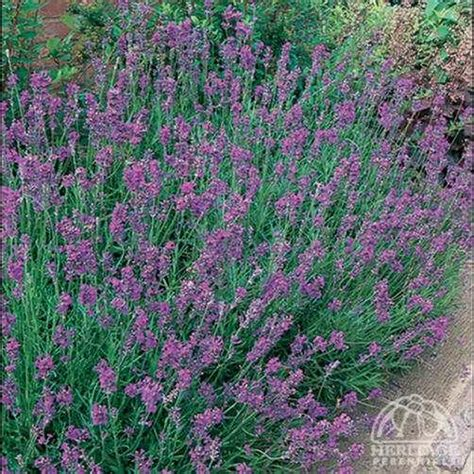 lavender bushes perennials plant profile for lavandula angustifolia twickel purple english lavender perennial