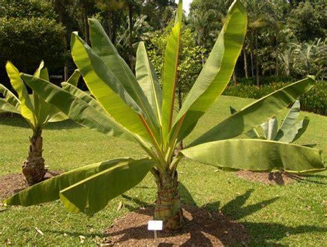 plante exotique 224 la maison tout savoir sur les bananiers