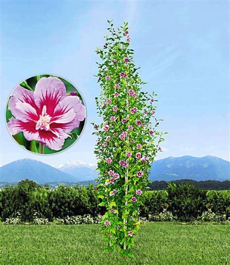hibiskus im winter s 228 ulen hibiskus purple pillar 174 top qualit 228 t baldur garten