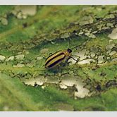 soldier-beetle-life-cycle