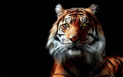 Tiger 3d Cool Wallpapers Backgrounds Animals Background