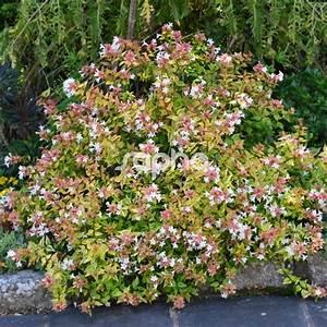 Abelia Grandiflora Kaleidoscope : abelia x grandiflora 39 kaleidoscope 39 sapho ~ Melissatoandfro.com Idées de Décoration