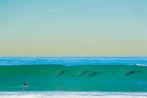 Dolphins Swimming The Surf Mission Beach San