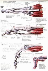 Hand Finger Anatomy