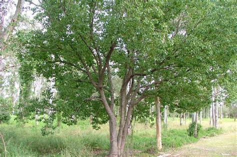 Factsheet-cinnamomum Camphora (camphor Laurel