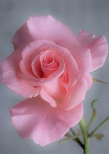 Langage Des Fleurs Pivoine : pingl par ella gradu sur fleurs fleur rose rose et fleurs ~ Melissatoandfro.com Idées de Décoration