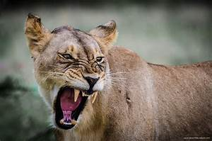 Lioness Angry At Lion