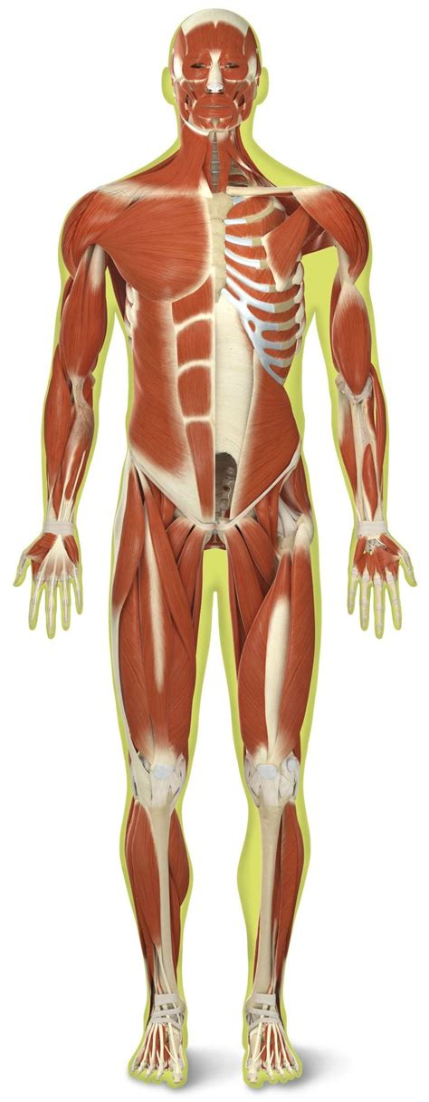 Muscular System Images 8 Best Muscular System Images On Tissue
