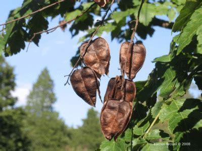 koelreuteria paniculata julia fitzpatrick cooper