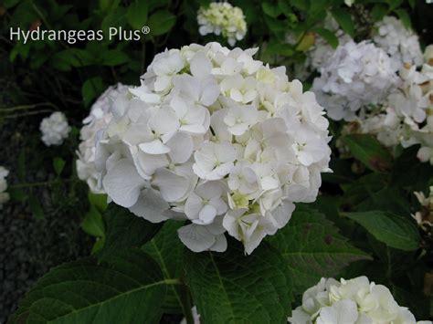 white flower varieties pretty white hydrangea varieties homesfeed