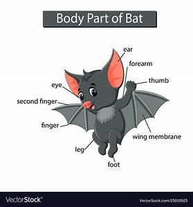 Diagram Showing Body Part Bat Royalty Free Vector Image