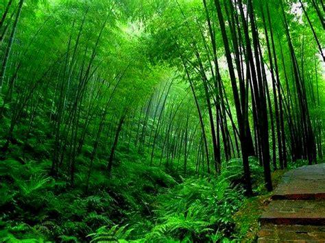 bamboo trees bamboo valance photo