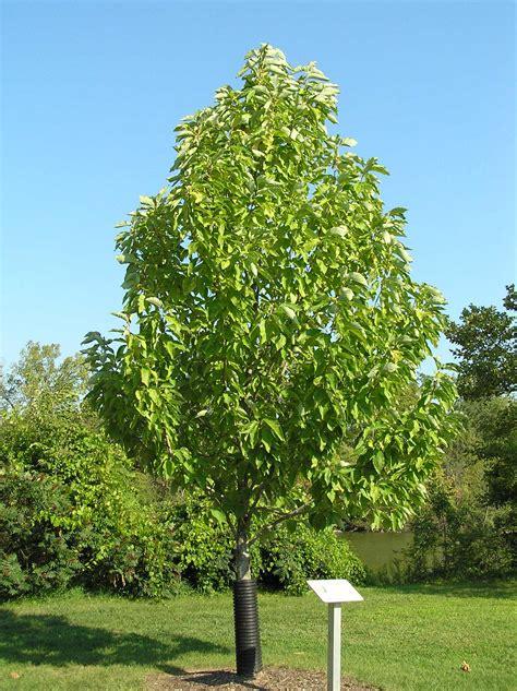 cucumber magnolia trees tree leaves summer