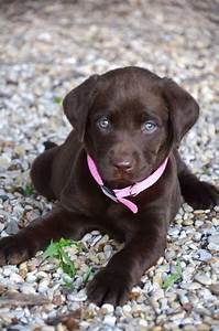 chocolate lab pup with blue eyes | Animals | Pinterest