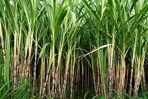 Addressing Sugarcane Planting Failures