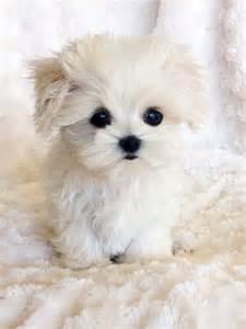Tiny Teacup Maltese Puppies