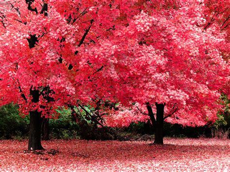 Wallpaper Pink Tree